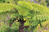 Tree fern in primary forest, Forest of Bébour, Reunion Island National Park, Pitons, Cirques and Ramparts of Reunion Island