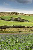 The Escalles mill and Phacelia field, Pas-de-Calais, Opal Coast, France