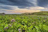Phacelia field, Pas-de-Calais, Opal Coast, France