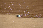 Gulls following a tractor during stubble ploughing in autumn, Pas-de-Calais, Opal Coast, France