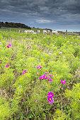 Flower meadow of Cosmos in autumn, Pas-de-Calais, Opal coast, France