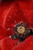 Corn poppy (Papaver rhoeas) flower close-up