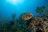 Goliath grouper (Epinephelus itajara) catching a lobster on a coral reef, Jardines de la Reina National Park, Cuba.