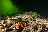 Crocodile marin américain (Crocodylus acutus) sur le fond détritique d'un chenal d'une mangrove du Parc National des Jardins de la Reine, Cuba.