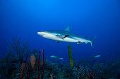 Requin gris (Carcharhinus amblyrhynchos) au dessus du fond, Parc national des Jardins de la reine, Cuba