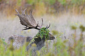 Fallow deer (Cervus dama) with ferns in the antler, Autumn, Germany, Europe