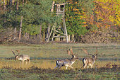 Fallow deers (Cervus dama) at rutting season in front of hunting hide, Germany, Europe