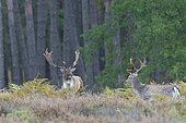 Fallow deers (Cervus dama) at rutting season, Germany, Europe