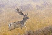 Fallow deer (Cervus dama) on misty morning, Germany, Europe