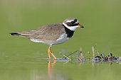 Ringed Plover (Charadrius hiaticula), side view of an adult standing in the water, Campania, Italy