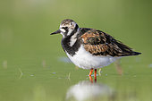 Ruddy Turnstone (Arenaria interpres), side view of an adult female standing in the water, Campania, Italy
