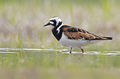 Ruddy Turnstone (Arenaria interpres), side view of an adult male standing in the water, Campania, Italy