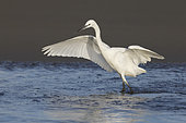 Little Egret (Egretta garzetta), juvenile fishing on the shore, Campania, Italy