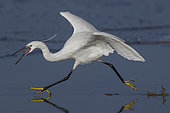 Little Egret (Egretta garzetta), side view of an adult running on the shore, Campania, Italy