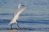 Little Egret (Egretta garzetta), side view of an individual walking on the shore, Campania, Italy