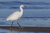 Little Egret (Egretta garzetta),side view of an adult walking on the shore, Campania, Italy