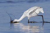 Little Egret (Egretta garzetta), side view of an adult fishing on the shore, Campania, Italy