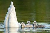 Mute swan (cygnus olor), Old bird feeding chicks, Germany, Europe