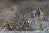 Lioness (Panthera leo) with two cubs, yawning, Kgalagadi Transfrontier Park, Northern Cape, South Africa, Africa