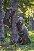 Two cubs (Ursus arctos) and their mother playing on a tree in a boreal coniferous forest, Bear family, Suomussalmi, Karelia, Finland, Europe