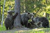 Family des (Ursus arctos) plays in the boreal coniferous forest, Suomussalmi, Karelia, Finland, Europe