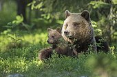 Female (Ursus arctos) with offspring in boreal coniferous forest, young bear, baby, cute, Suomussalmi, Karelia, Finland, Europe