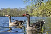 Greylag geese ( anser anser) with her offspring on a lake, chicks, goslings, Hannover, Lower Saxony, Germany, Europe