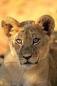 Lion (Panthera leo), cub, four months, Tswalu Game Reserve, Kalahari Desert, South Africa, Africa
