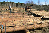 Spruce logs logging with Comtois horses, forest, Granges sur Vologne, Vosges, France