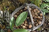 Harvesting nuts, basket, fruit, leaf, tree trunk, walnut (Juglans regia), orchard, Plancher-Bas, Haute-Saone, France