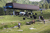 Herens cow herd and Super Nendaz ski resort in summer, Valais, Switzerland
