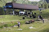 Herens cow herd and Super Nendaz ski resort in summer, Valais, Switzerland