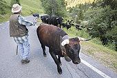 Shepherd during transhumance, Val de Nendaz, Valais, Switzerland