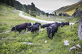 Transhumance of Hérens cows, Val de Nandaz, Valais, Switzerland