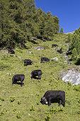 Herd of cow grazing in an avalanche corridor, Val de Nendaz, Valais, Switzerland