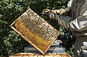 Bees on the frame of a beehive partially filled with honey, near Cluny, France