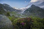 Evening mood, Alpine roses, mountains on the Berliner Höhenweg, Steinmandl mountain peak, Hornkees glacier, Zillertal Alps, Zillertal, Tyrol, Austria, Europe