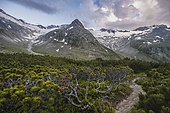 Evening mood, mountain pine and hiking trail, mountains along the Berliner Höhenweg, middle mountain peak Steinmandl right Großer Möseler, glacier Hornkees and Waxeggkees, Zillertal Alps, Zillertal, Tyrol, Austria, Europe
