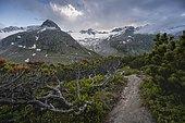 Evening mood, mountain pine and hiking trail, mountains along the Berliner Höhenweg, left mountain peak Steinmandl right Großer Möseler, glacier Waxeggkees, Zillertal Alps, Zillertal, Tyrol, Austria, Europe