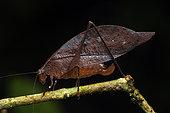 Leaf katydid (Orophus sp) female, Anton valley, Panama