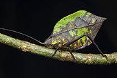 Leaf Buscricket (Mimetica sp) female, Anton valley, Panama