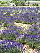 Lavender flowers and borie, Albion, Ventoux, Vaucluse, France