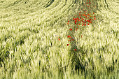 Poppies in wheat, Saint-Julien-le-montagnier, Var, PNR Verdon, France