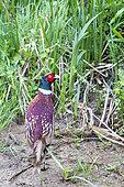 Ring-necked Pheasant (Phasianus colchicus), Saint-Julien-le-montagnier, Var, Verdon NRP, France