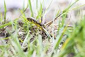 Viperine Water Snake (Natrix maura), Saint-Julien-le-montagnier, Var, PNR Verdon, France