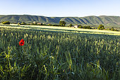 Poppies and shed in the North of the Grand Luberon, Cereste, Alpes de Haute Provence, France