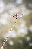 Sympétrum à nervures rouges (Sympetrum fonscolombii), zone humide, Saint-Julien-le-montagnier, PNR Verdon, France