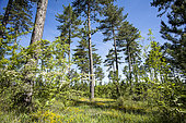 Pélissier Forest, Luberon NRP, Alpes de Haute Provence, France