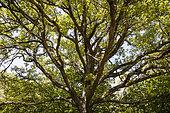 Downy oak (Quercus pubescens) in forest, Vallon de l'Aiguebrun, Sivergues, PNR Luberon, Vaucluse, France