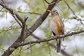 Kurrichane Thrush (Turdus libonyana), adult perched on a branch, Mpumalanga, South Africa